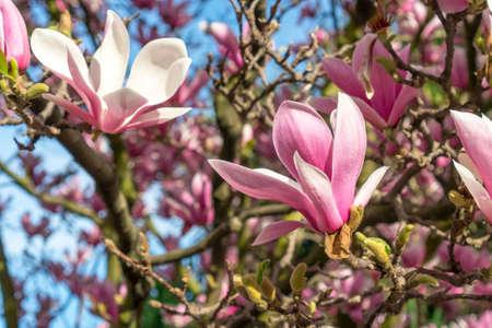 Beautiful flower close up. Blooming beautiful magnolia tree. Stock fotó