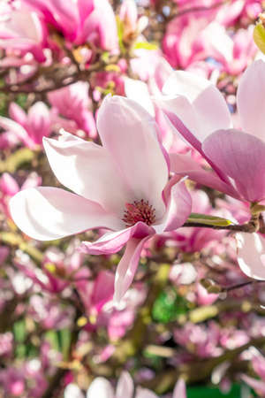 Lovely flower of a beautiful magnolia tree close-up. Spring holiday concept