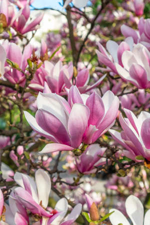 Lovely flowers of a beautiful magnolia tree close up