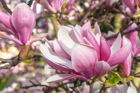 Beautiful magnolia flower close up. Spring bloom in the garden