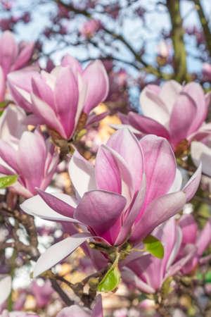 Blooming beautiful magnolia tree. Beautiful flower close up Stock fotó