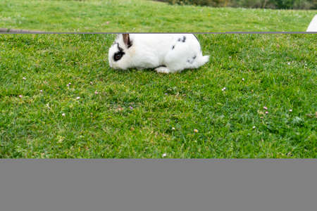 White rabbit with black eyes on the grass eats in the park