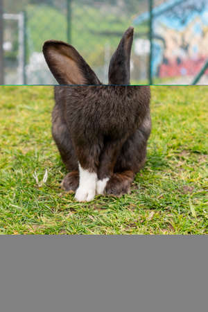 A dirty black rabbit with white paws on the green grass in the park against the background of a mesh fence and walls with graffiti in blur. Close-up Фото со стока