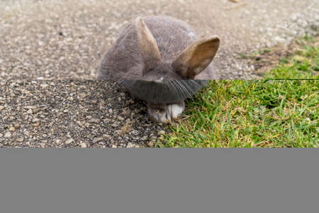 Gray rabbit on an asphalt road with grass close up