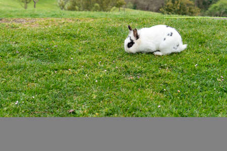 White rabbit on green grass eats in the park. Copy space Фото со стока