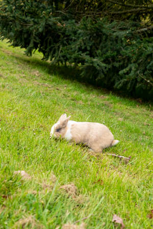 Brown cream young rabbit eating grass on a hill with a spruce.