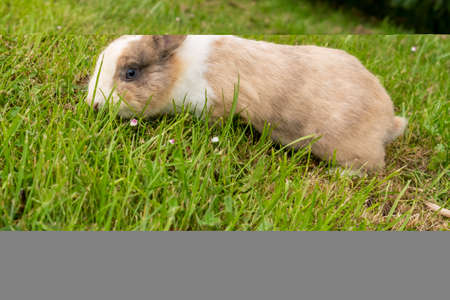 Cute brown rabbit on a green grassy meadow with flowers. Cream wool
