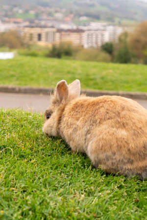 Ginger rabbit eating grass on the lawn in the park against the background of the city and buildings in blur