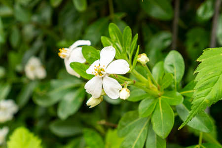 A beautiful flower with white petals and yellow stamens with bright green leaves. Close-up