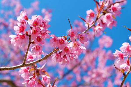 Beautiful cherry blossom pink sakura flowers with blue sky in beautiful cherry blossom pink sakura flowers with blue sky in stock photo picture and royalty free image image 95465656 mightylinksfo