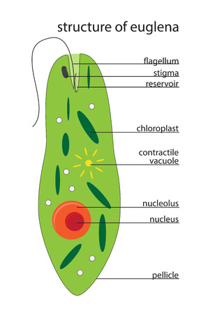 unicellular: vector illustration of euglena structure with description