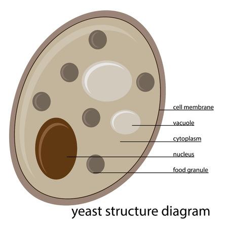vector yeast structure diagram 일러스트