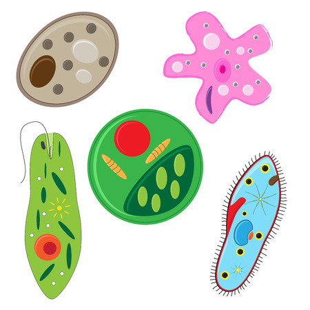 amoeba: vector illustration of unicellulars schemes set: algae, amoeba, euglena. paramecium and yeast