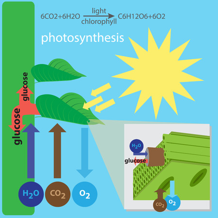 photosynthesis: illustration of photosynthesis process Illustration