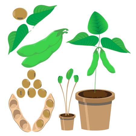 kidney bean: vector illustration of soy bean and plants
