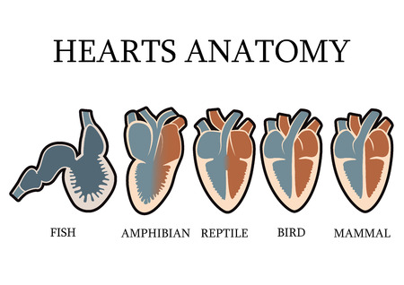 vertebrates: Comparison of cardiac anatomy of vertebrates. simple hearts illustrations of mammals birds reptiles amphibians and fishes. vector illustration.