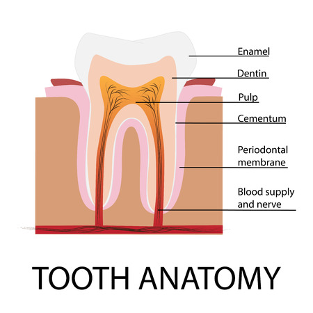 dentin: tooth anatomy vector illustration with description Illustration