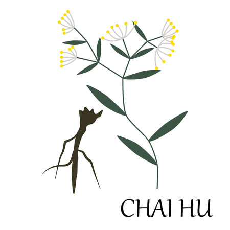 nature backgrounds: vector illustration of chinese herb - chai-hu, also known as Bupleurum.