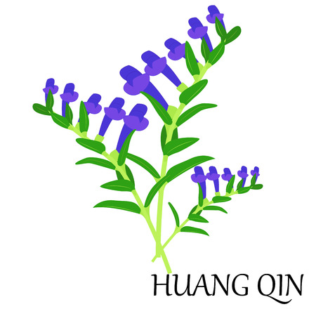 known: vector illustration of chinese herb - huang-qin, also known as scutellaria. Illustration