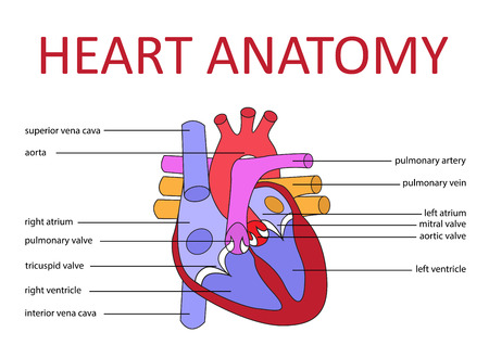 ventricle: anatom�a del coraz�n humano diagrama esquem�tico. ilustraci�n vectorial