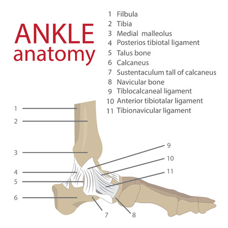 anatomía: ilustración vectorial de tobillo anatomía humana. huesos y tendones. con la descripción de cada elemento del pie humano.