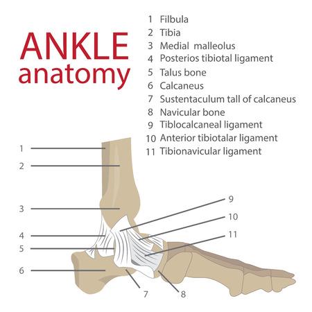 anatomie: vector illustratie van de menselijke anatomie enkel. botten en pezen. met een beschrijving van elk element van de menselijke voet.
