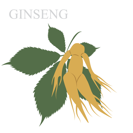 chinese medicine: vector illustration of ginseng root and leaf. in chinese herb using natural medicine.