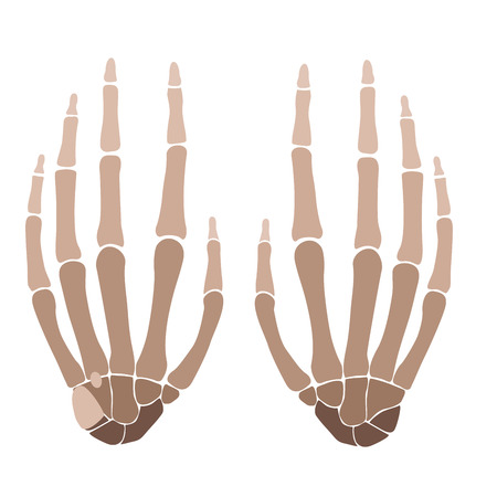 wrist joint: vector illustration of a human hand bones anatomy.