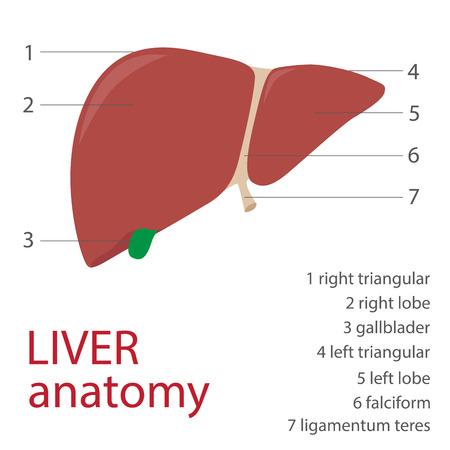 Menschlichen Leber Anatomie mit Beschreibung. Vektor-Format Darstellung Vektorgrafik