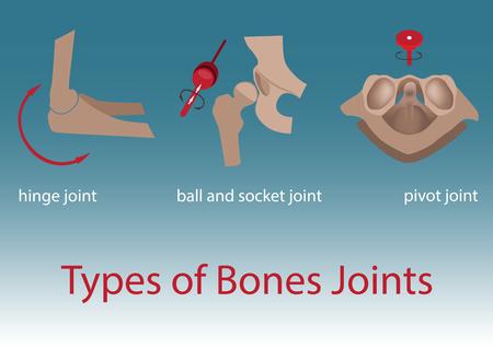 vertebra: vector illustration. types of human bones joints anatomy.