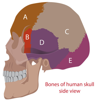 lacrimal: vector illustration of a human head bones types. side view.