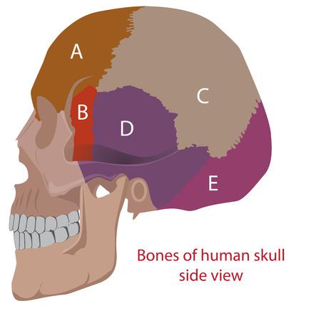 maxilla: vector illustration of a human head bones types. side view.