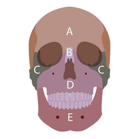 lacrimal: vector illustration of a human head bones types. front view.