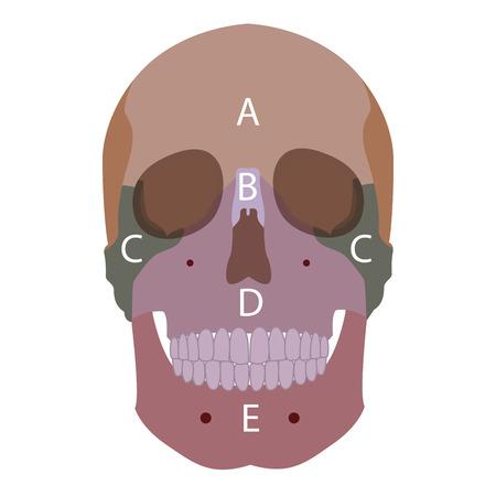 maxilla: vector illustration of a human head bones types. front view.