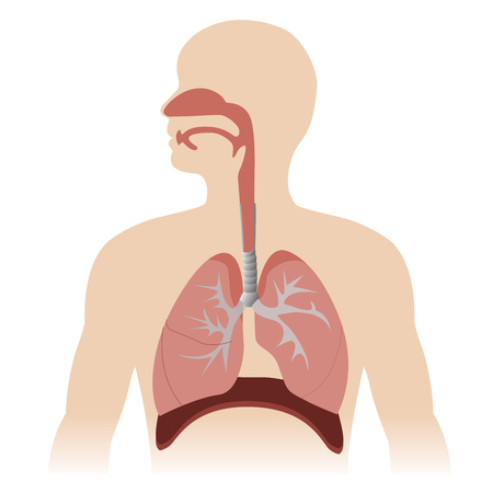 human chest: human respiratory system anatomy. vector format illustration.
