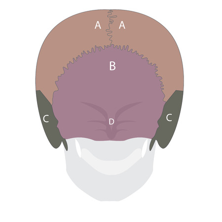 lacrimal: illustration of a human head bones types. back view. Illustration