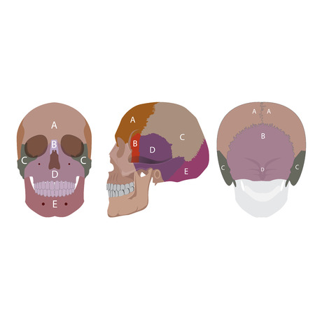frontal view: illustration of a human head bones types. side front and back view Illustration