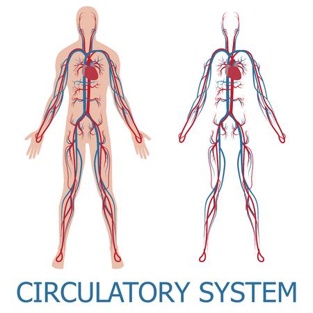 circulation: human circulatory system. illustration of blood circulation in human body