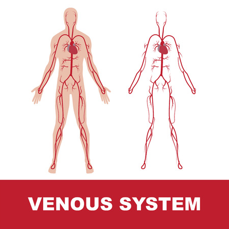 vector illustration of human venous system isolated on white.