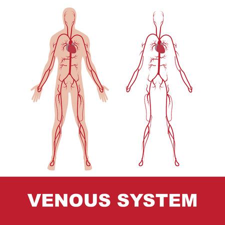 Illustrazione vettoriale del sistema venoso umano isolato su bianco.