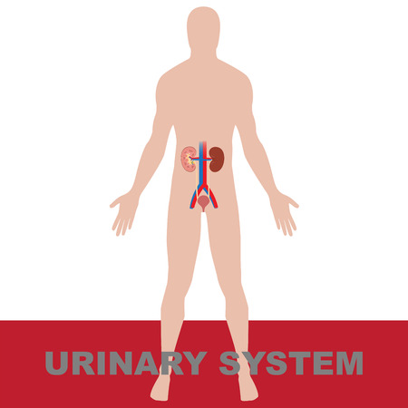 urethra: humans urinary system with diagrammatic view of kidney vector illustration