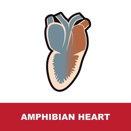 amphibian schematic heart anatomy vector illustration on white