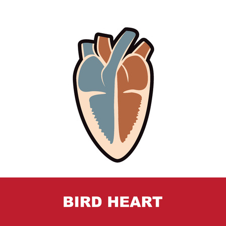 bird schematic heart anatomy vector illustration on white Illustration