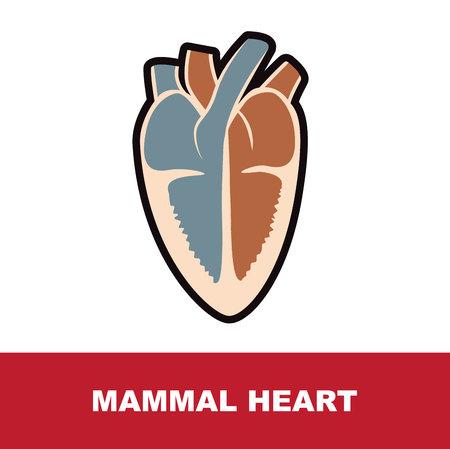 mammal schematic heart anatomy vector illustration on white
