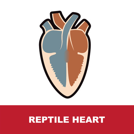 reptile schematic heart anatomy vector illustration on white
