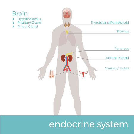Vector illustration of human endocrine system with description Stock Vector - 92621830