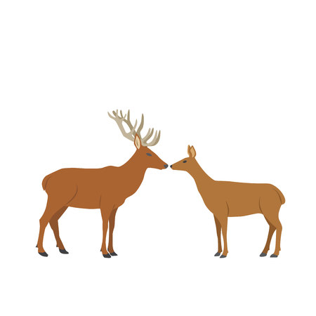 male and female roe-deers stand face to face on white background