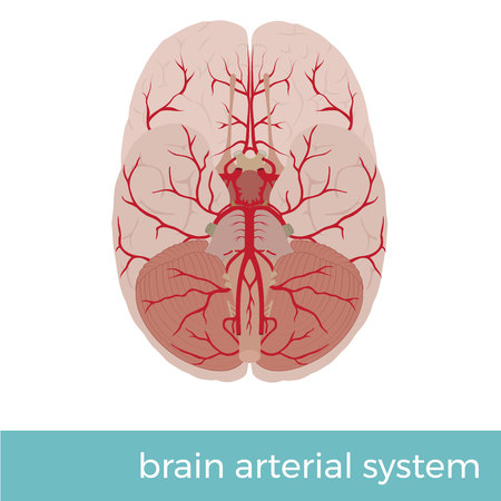 vector illustration of human brain arterial system. Great for educational pupose Vettoriali