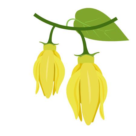 flowers of ylang-ylang, climbing ilang-ilang, manorangini, hara-champa or kantali champa. vector format illustration