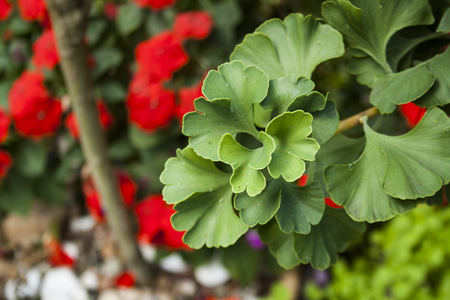 Green leaves of medicine herb ginkgo biloba
